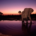 Elephant Drinking at Dawn