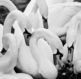 Swan Variations