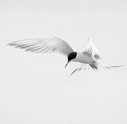 Angelic Tern