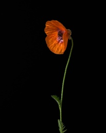 Papaver II_Oriental Poppy - Prince of Orange
