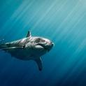Blue Streaks - Sharks