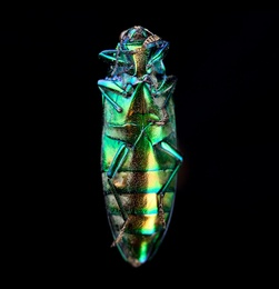 Coleoptera