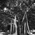 The Great Tree VII