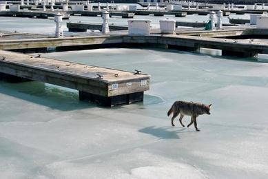 Chicago Coyote