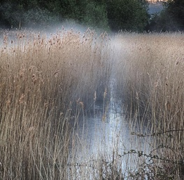 Mist in the Reeds