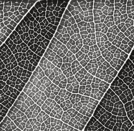 Leaf Lines III - Black and White