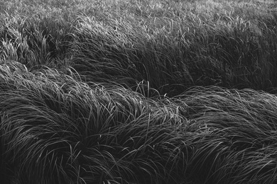 Willapa Seagrasses XII