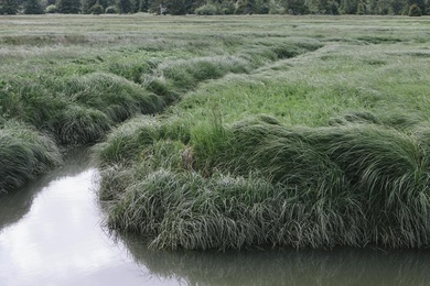 Willapa Seagrasses V
