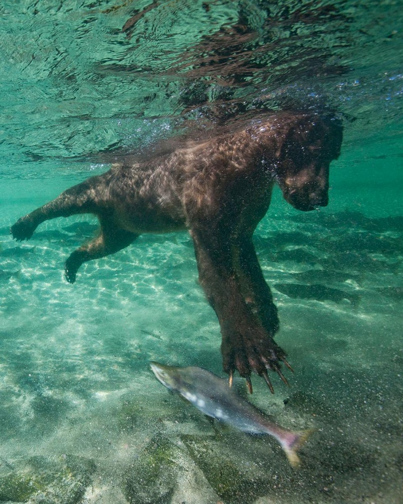 Fishing grizzly bear paul souders purephoto for Bear catching fish