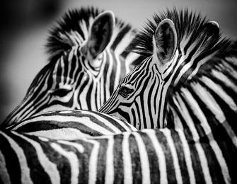 Combed Zebras