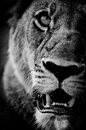 Face of the Lioness