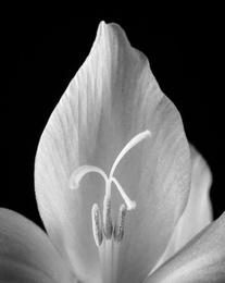 Wildflower VI_Rain Lily