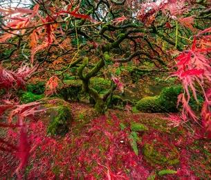 Autumn on the Japanese Maple