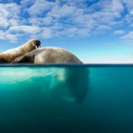Walrus Dive