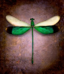 Neurobasis Chinensis No. 2 (Dragonfly)