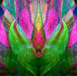 Pink Tulip 2[SQ]