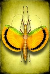 Tagesoidea Nigrofasciata Female (Stick Insect)