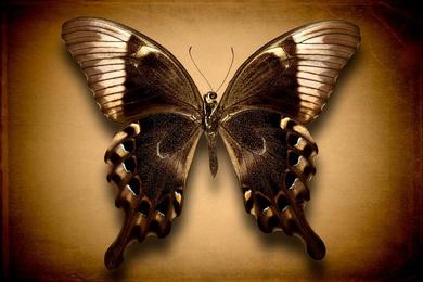 Papilio Perantilus Insulicola (Underside)