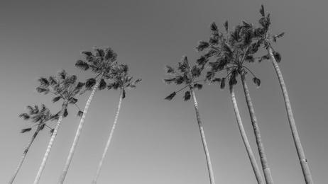 Venice Palms B/W