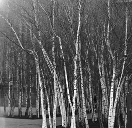 Modern Birch