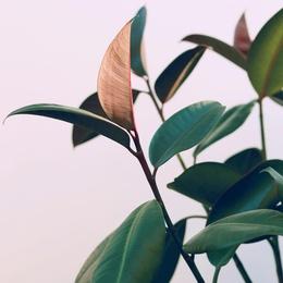 Ficus Elastica #4
