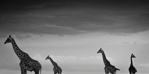 Four Giraffes in the Sky, Kenya