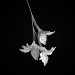 Wildflower V_Rain Lily