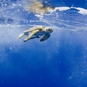 Underwater View of Green Sea Turtle