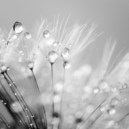 Dandelion Seeds With Water Droplets in Black and White