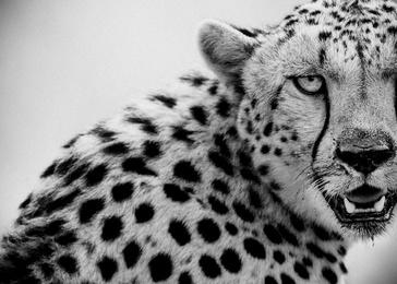 Cheetah in Maasai Mara, Kenya