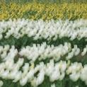 Tulip Field Abstract V