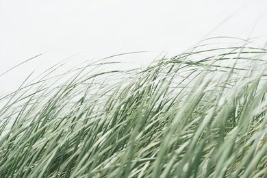 Oregon Seagrasses