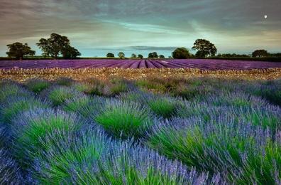 Lavender Dusk