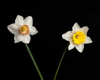 Narcissus III_Flame & Golden Echo