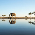 African Elephant at Savuti Marsh