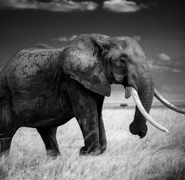 Elephant in Dry Grass, Kenya