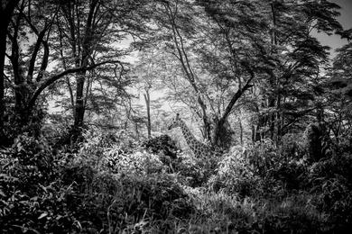 Giraffe in a Deep Forest, Kenya