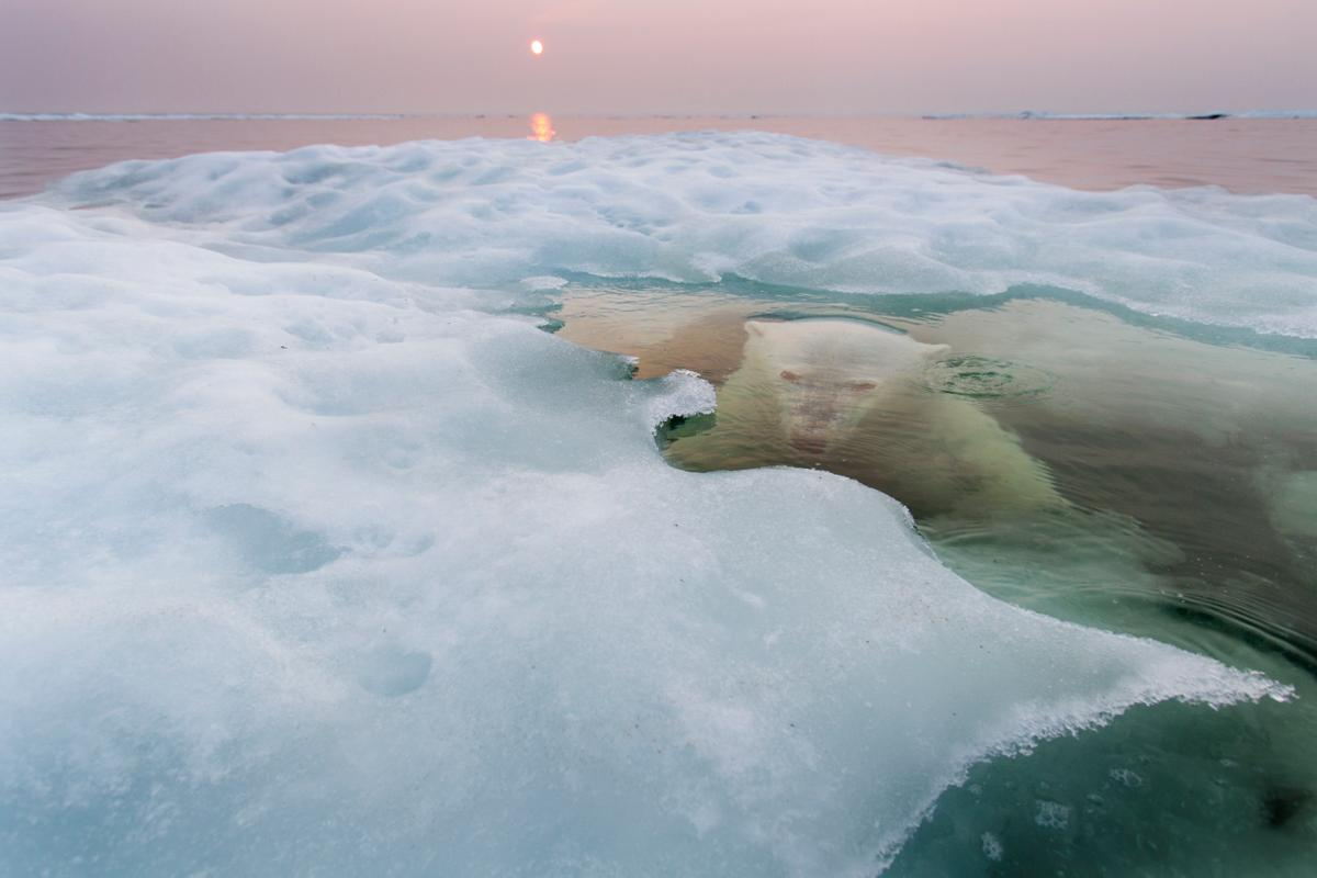 Polar Bear lurking beneath melting sea ice on Hudson Bay, Canada. Photographed July 11, 2012