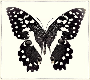 Papilio Demodocus No. 2