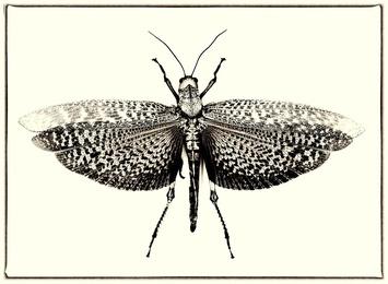 Tropidacris Dux No. 3 (Grasshopper)