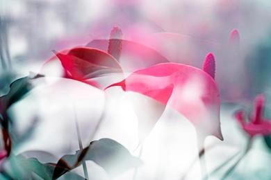 ARACEAE FLOWER 6