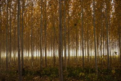 Autumn at the Tree Farm XII