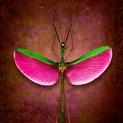Marmessoidea Rosea No. 2 (Stick Insect)