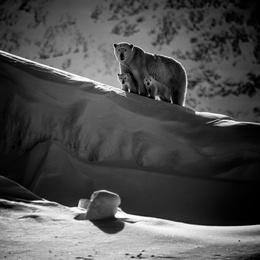 Polar Bear and Cubs II