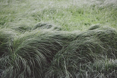 Willapa Seagrasses I