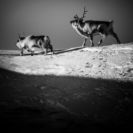 Two Reindeer, Svalbard
