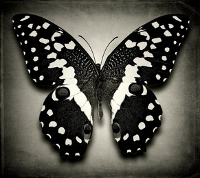 Papilio Demodocus No. 3