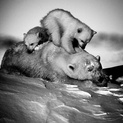 Polar Bear With Cubs III, Manitoba, Canada