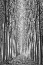 Popular Tree Study - Emilia Romagna