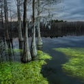 Flooded Cypress #2
